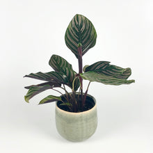 Load image into Gallery viewer, Pin-Stripe Calathea - Calathea Sanderiana