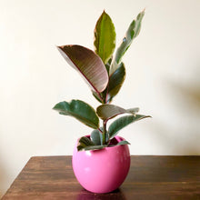 Load image into Gallery viewer, Ficus Tineke - Rubber plant