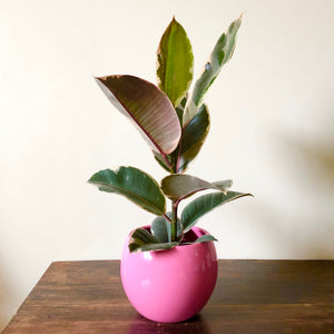 Ficus Tineke - Rubber plant