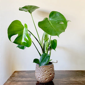 Swiss Cheese Plant -  Monstera Deliciosa