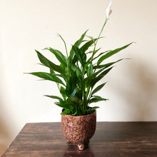 Load image into Gallery viewer, Peace Lily - Spathiphyllum