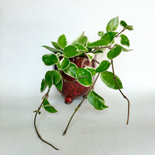 Load image into Gallery viewer, Hoya Carnosa Krimson Queen