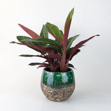 Load image into Gallery viewer, Calathea Triostar - Stromante Triostar