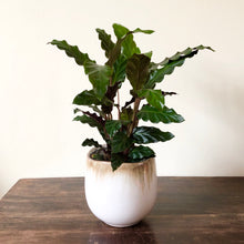 Load image into Gallery viewer, Calathea Rufibarba