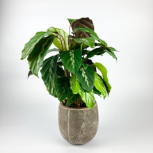 Load image into Gallery viewer, Calathea Maui Queen