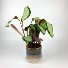 Load image into Gallery viewer, Calathea roseopicta 'Corona'