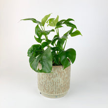 Load image into Gallery viewer, Mini Monstera - Philodendron 'Minima'