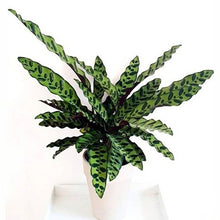 Load image into Gallery viewer, Calathea 'Rattlesnake' - Calathea Insignis