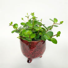 Load image into Gallery viewer, Peperomia Hope - Peperomia Rotundifolia