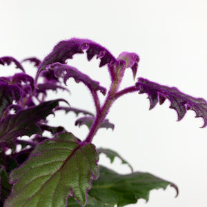 Purple Passion Plant - Gynura aurantiaca