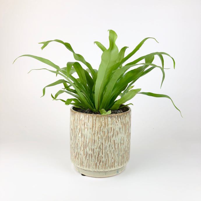 Bird's Nest Fern - Asplenium Antiquum