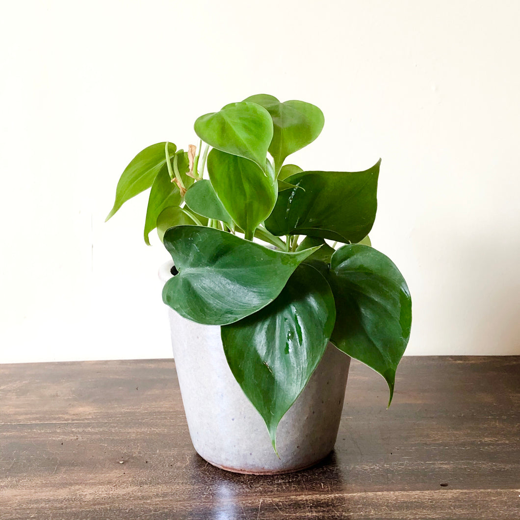 Heartleaf Philodendron