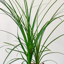 Load image into Gallery viewer, Ponytail Palm - Beaucarnea recurvata