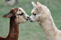 Alpacas kissing