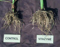 vitazyme-corn-root-groth
