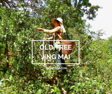 June: Jing Mai Old Tree Sheng