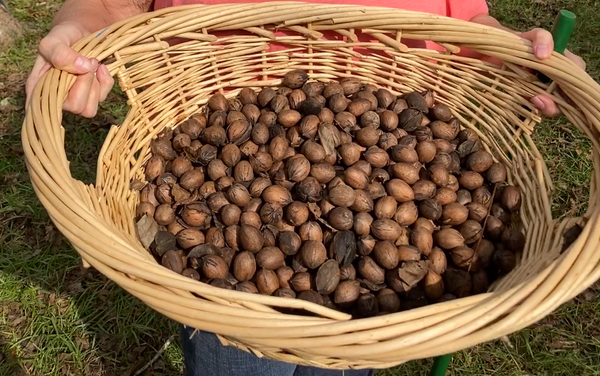 Pecans from Family Orchards