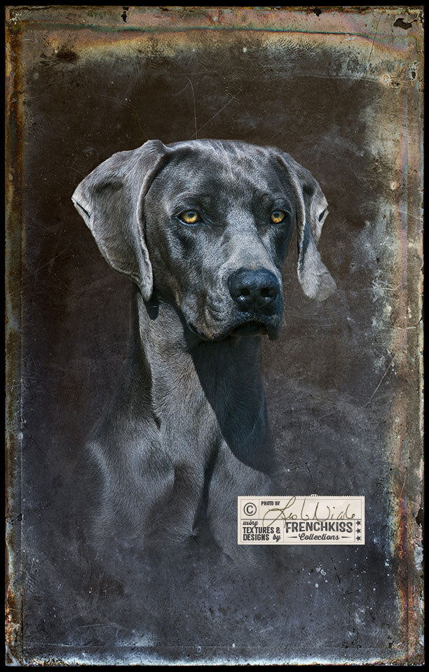 Blue Weimaraner photographic portrait using a grunge texture.