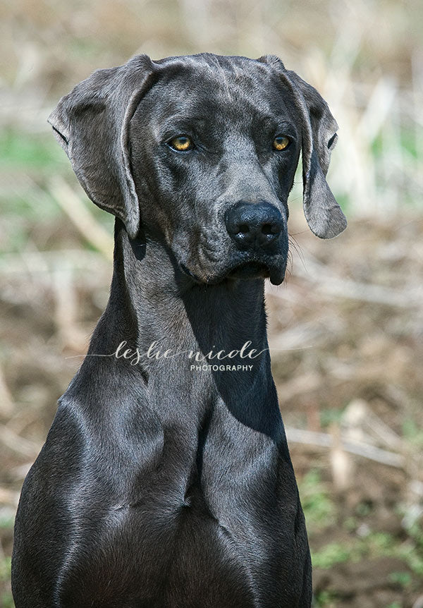 Photographic portrait of a Blue Weimaraner by Leslie Nicole.