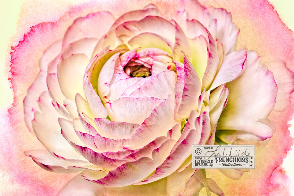 Ranunculus flower photograph with watercolor texture by Leslie Nicole.