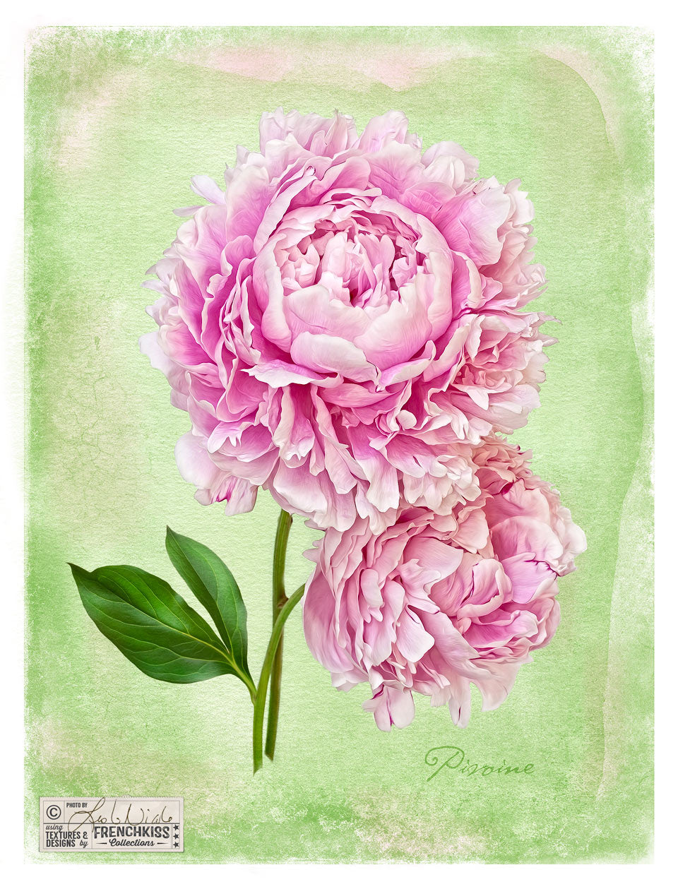 Botanical style peony photograph with a watercolor texture by Leslie Nicole.