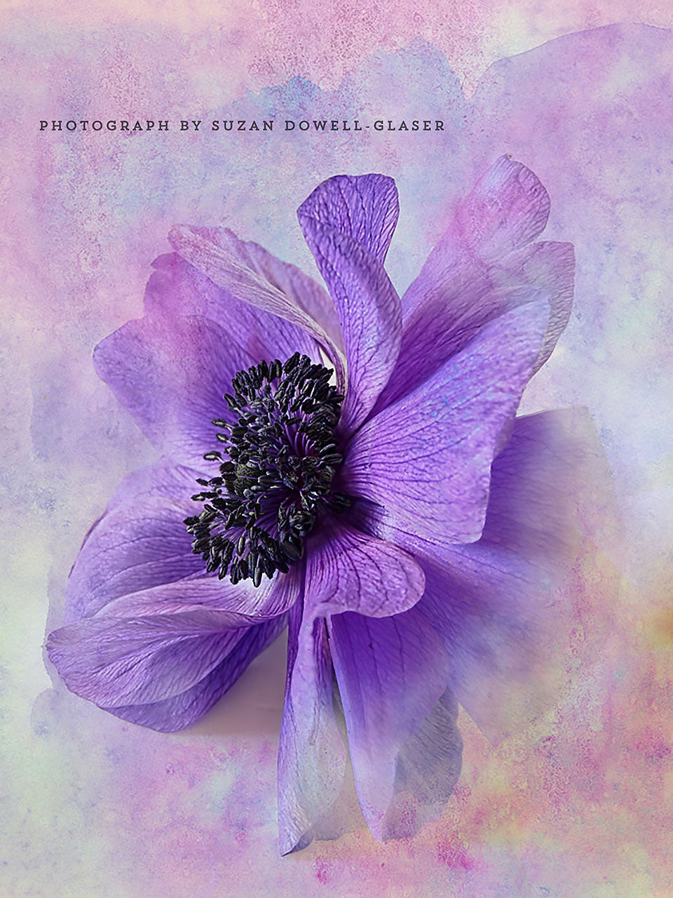 Anemone photograph by Suzan Dowell-Glaser with a watercolor texture by French Kiss Collections.