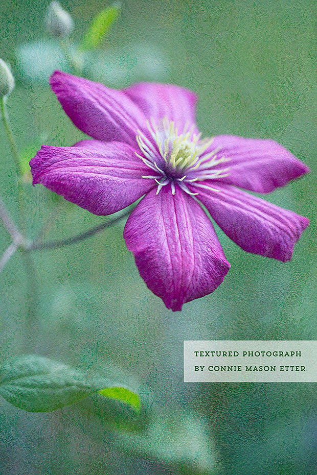 Textured photograph of a clematis flower by Connie Mason Etter.