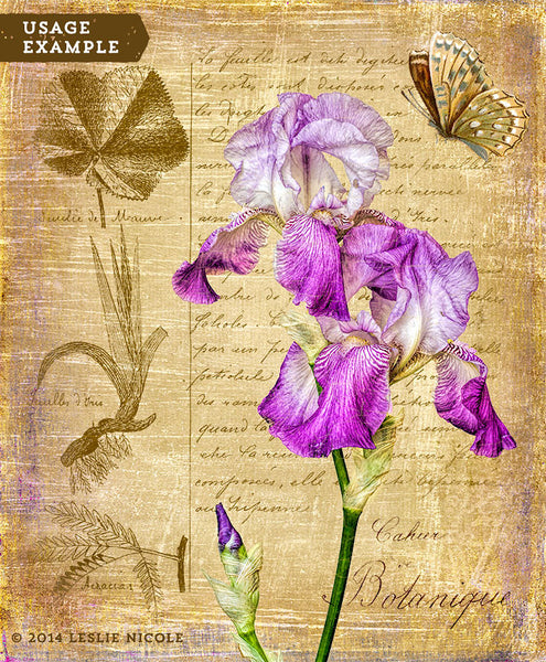 Botanical inspired iris image using a texture and vintage French overlay.