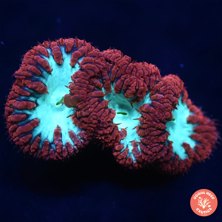 Aussie Red Blasto Colony (4 heads)