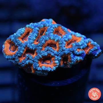 NY Knicks Australian Acan Colony