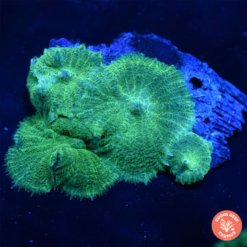 Incredible Hulk Indo Discosoma Mushroom Colony