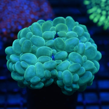 Evergreen Bubble Coral