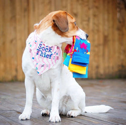 Sock Thief Dog Bandana in Blue or Pink