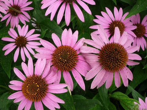 The delectable Echinacea tea and everything you need to know about it!!