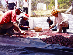 Pre-sorting coffee by hand, Los Planes, El Salvador