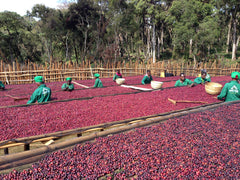 ethiopian coffee being processed by workers at METAD gedeb