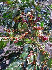 New coffee buds, Los Planes, El Salvador