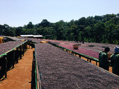 Natural processed coffee in ethiopia