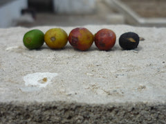 Coffee color chart, Santa Adelaida Cooperative, El Salvador