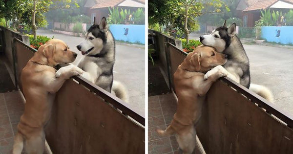 This Husky Felt So Lonely That He Escaped The Yard To Hug His Best Friend