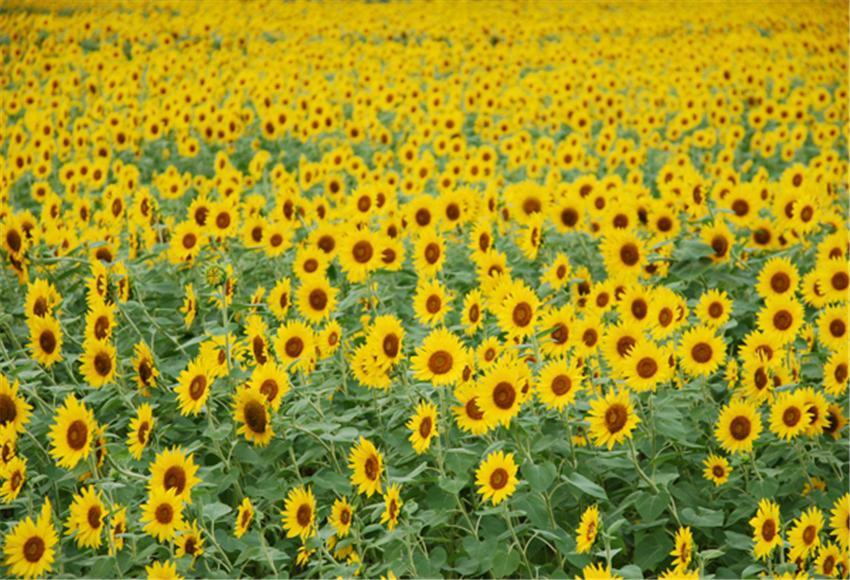 Summer Sunflower Photography Backdrop for Picture