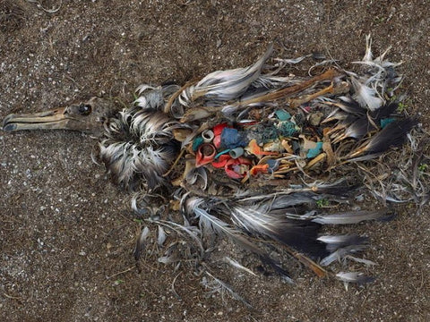 Albatross on Midway Atoll Filled with Plastic it Mistook for Food