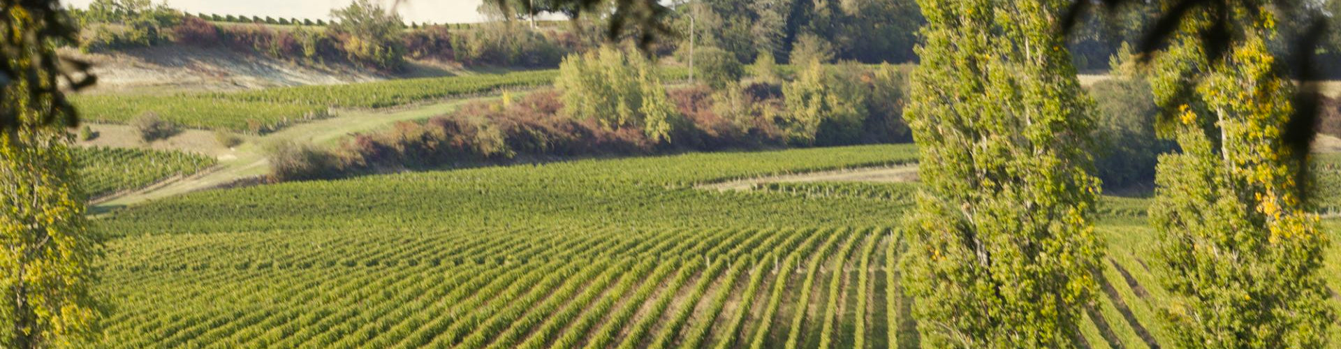 Vineyards in the Libournais Wine District of Bordeaux in France