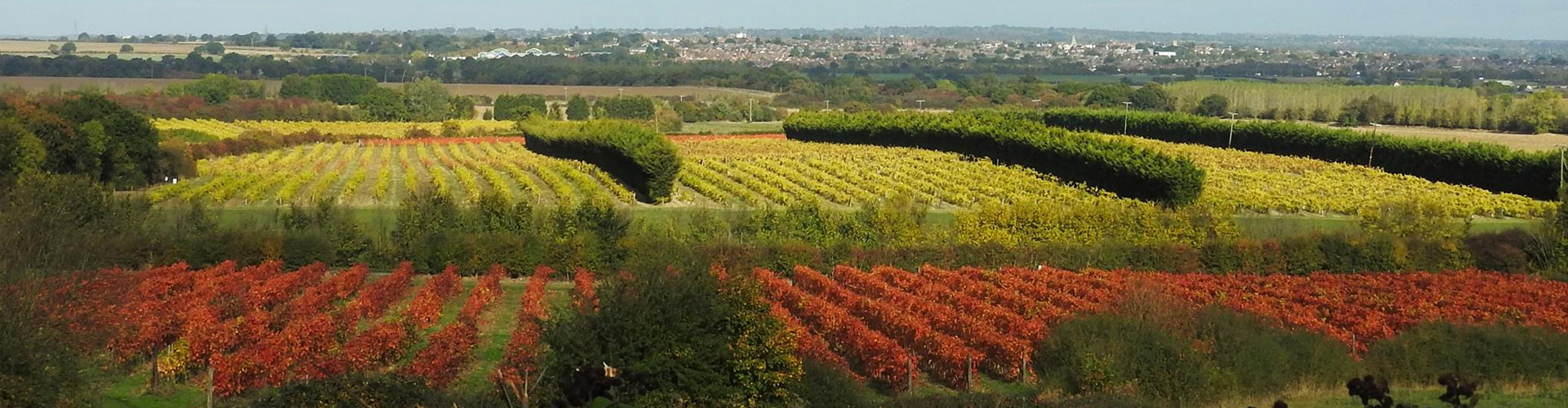 View of New Hall Vineyards in Essex