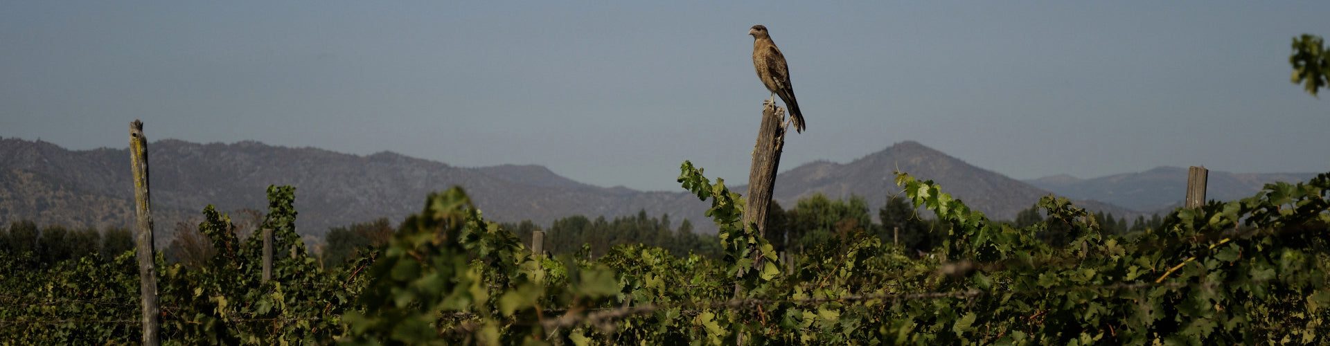 Bird of Prey sitting in the Viña Nahuel Vineyard