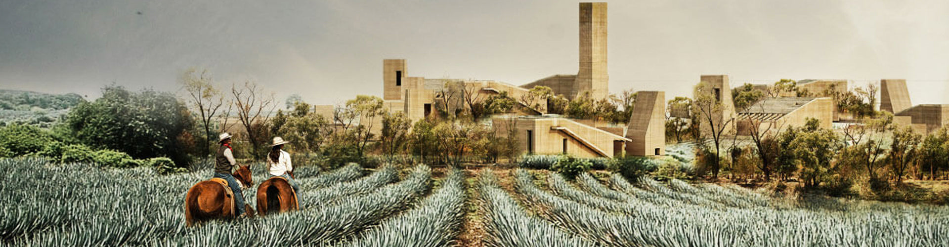 Field of Organic Agave for Clase Azul Tequila