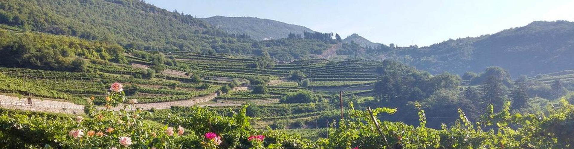 Masi Vineyards in the Veneto region of norther Italy