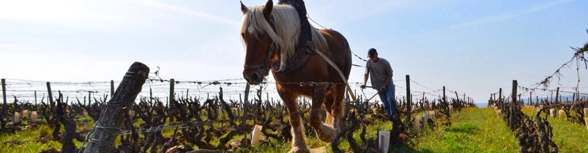 Horse ploughing Domaine Huet Vouvray Vineyards
