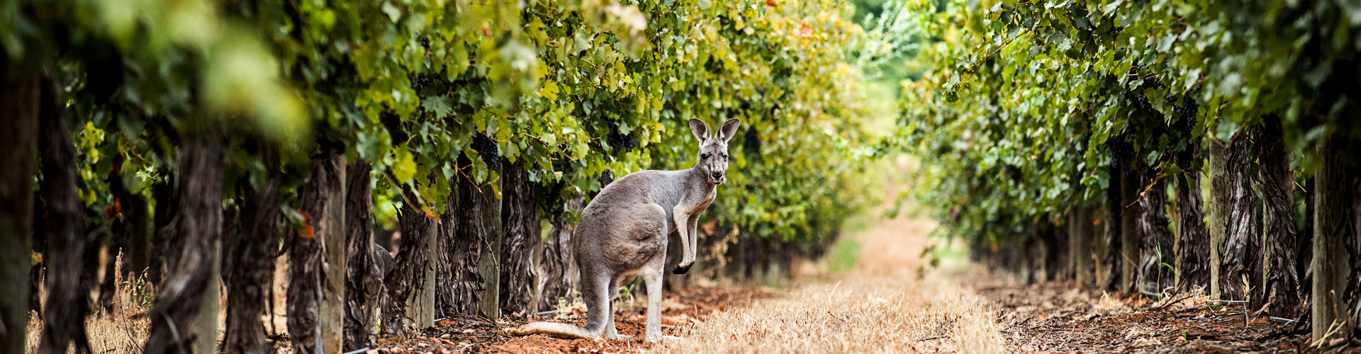 Kangaroo in the vineyards at Deakin Estate