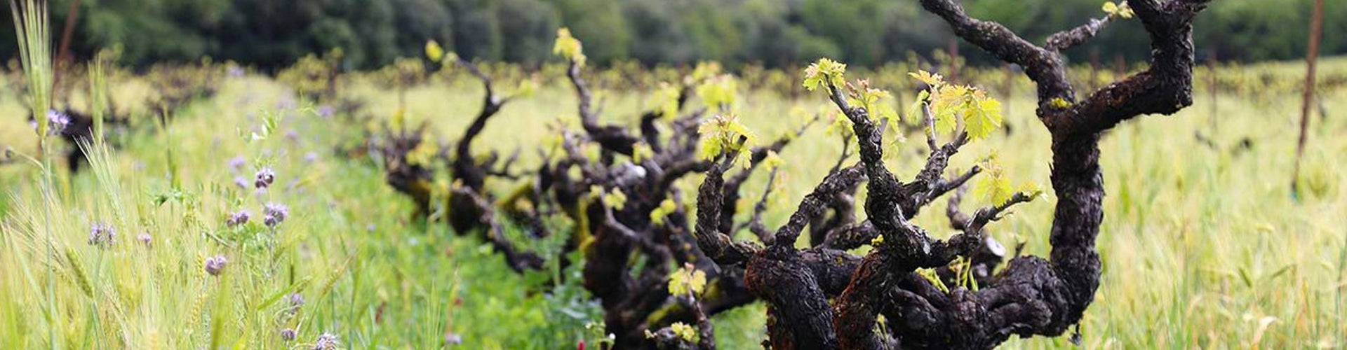 Bedrock Wine Co. vines and cover crops